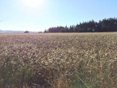 Oh, look! There's a wheat field!